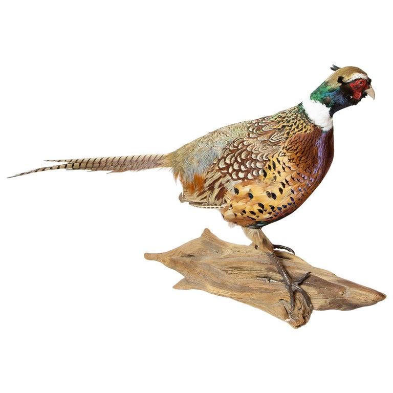 Ringneck Pheasant For Sale