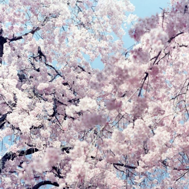 Untitled, from 'Illuminance' – Rinko Kawauchi, Cherry Blossom, Japan, Flowers For Sale 1