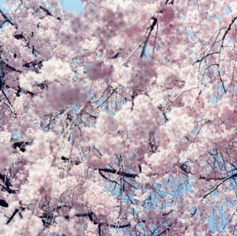 Untitled, from 'Illuminance' – Rinko Kawauchi, Cherry Blossom, Japan, Flowers For Sale 2