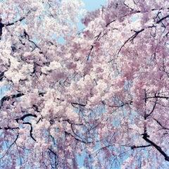 Untitled, from 'Illuminance' – Rinko Kawauchi, Cherry Blossom, Japan, Flowers
