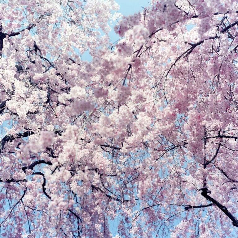 Untitled, from 'Illuminance' – Rinko Kawauchi, Cherry Blossom, Japan, Flowers - Photograph by Rinko Kawauchi