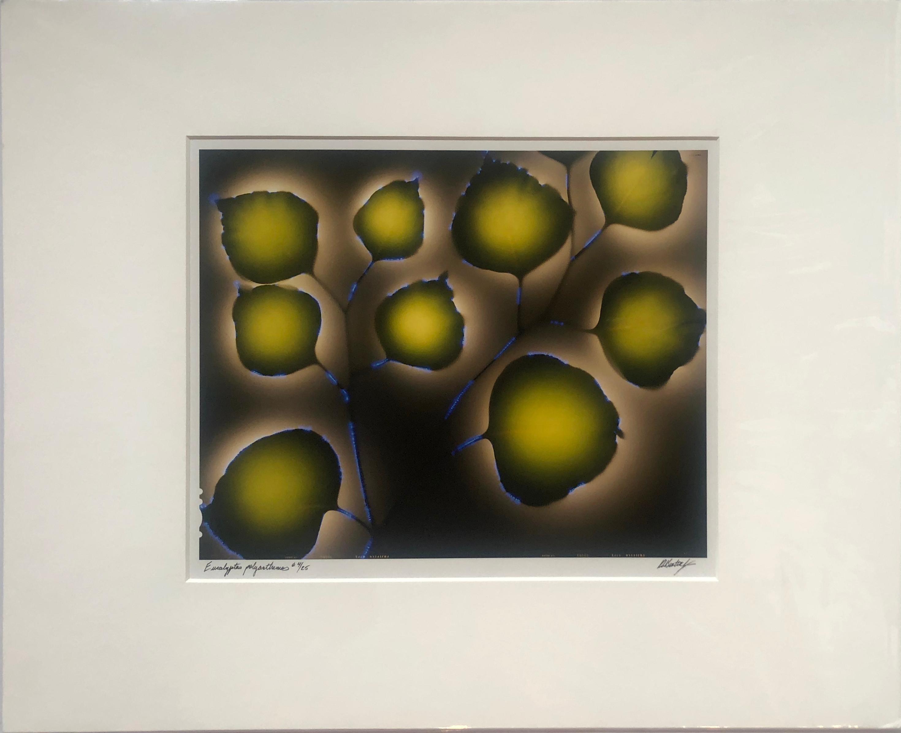 """Eucalyptus polyanthemos"" by Robert Buelteman, Cameraless photograph print, 2000"
