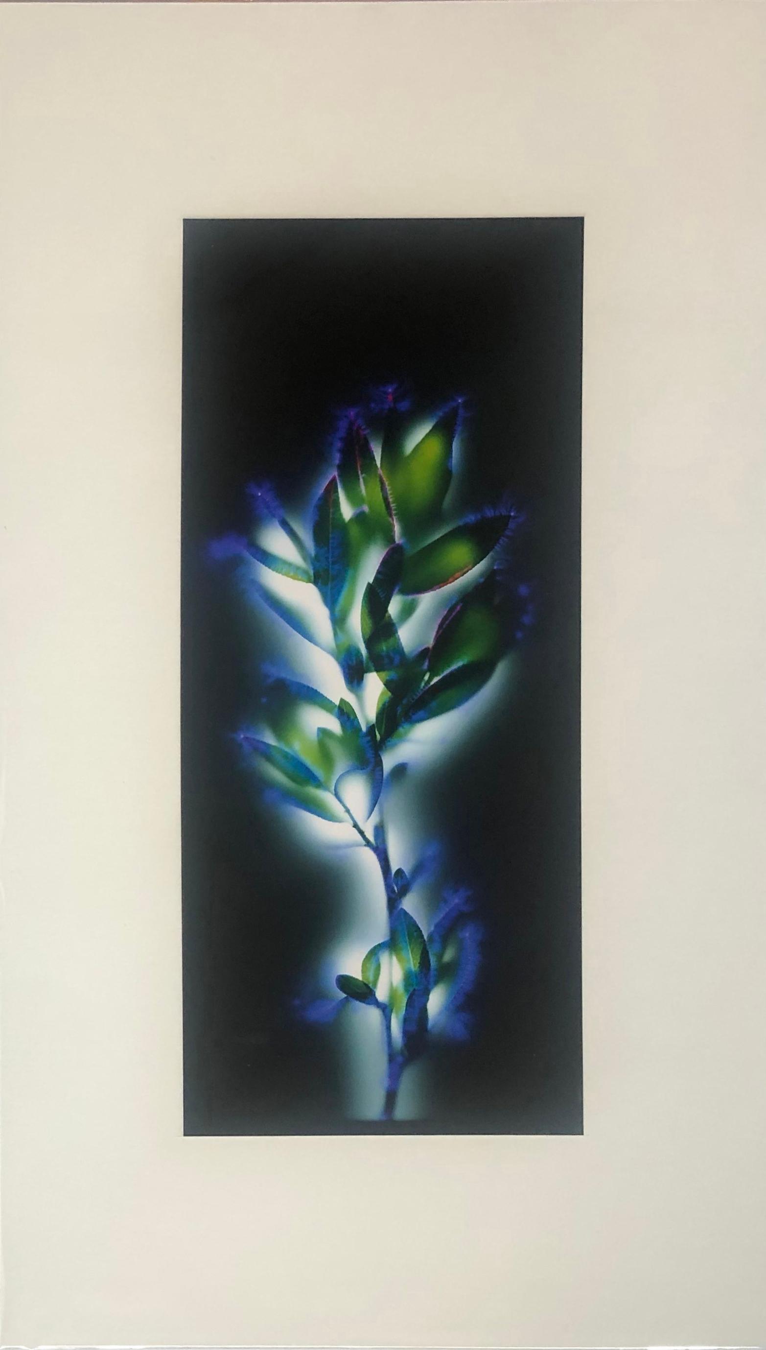 """Willow Budbreak"" by Robert Buelteman, Cameraless photographic print, 2010"