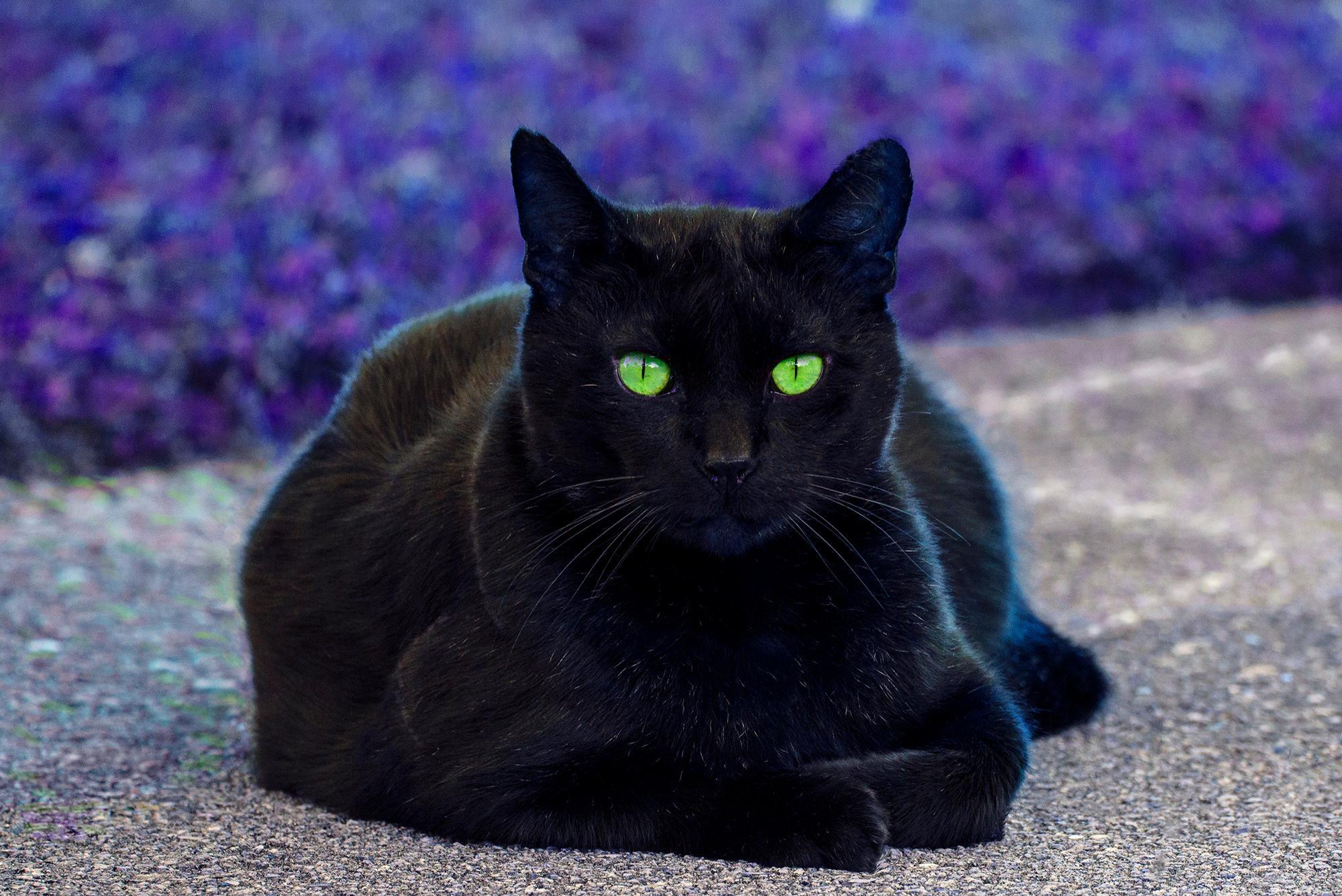 Black Cat. Green Eyes