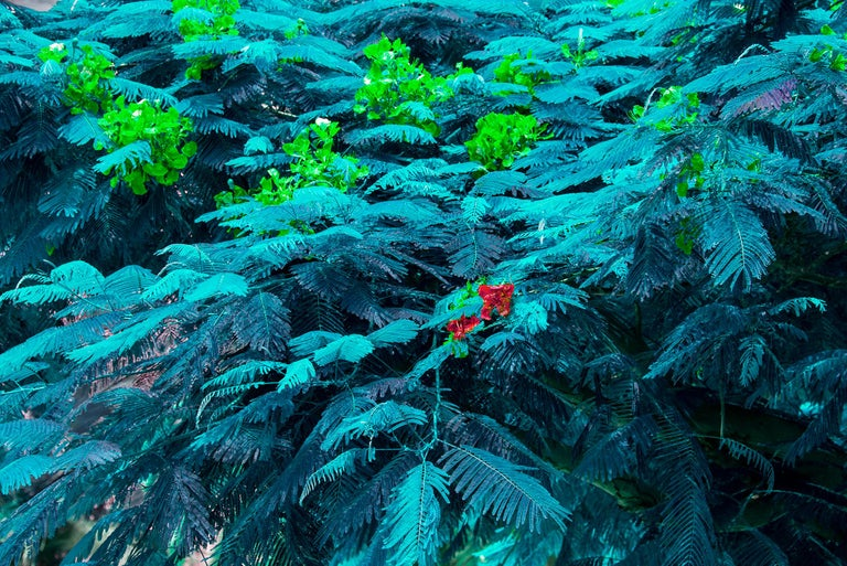 Robert Funk Color Photograph - Blue Trees. Blue Forest.  Blue Leaves.