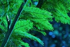 Bossa Nova Blue Trees