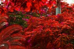 Daydreaming Royal Poincianas in Pink and Red