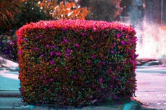 Hedge Fun  - Palm Beach in Magenta and Orange with Lizard - Monet Haystacks