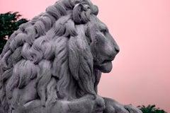 Lion Male in Majestic Mauve