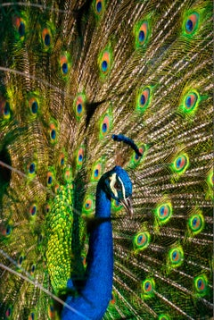 Peacock Blue and Green. Colorful Pheasants
