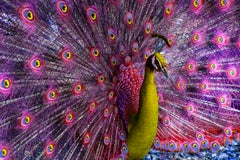 Peacock displaying in Magenta and Yellow Birds