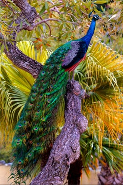 Peacock in Tree with  Iridescent Blue and Green Plumage