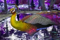Purple Peacock- God's Most Beautiful Creation