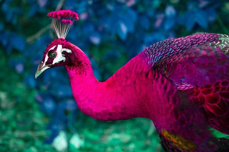 Robert Funk Portrait Photograph - The Peacock of Coconut Grove