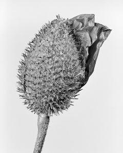 Papaver Orientale 1