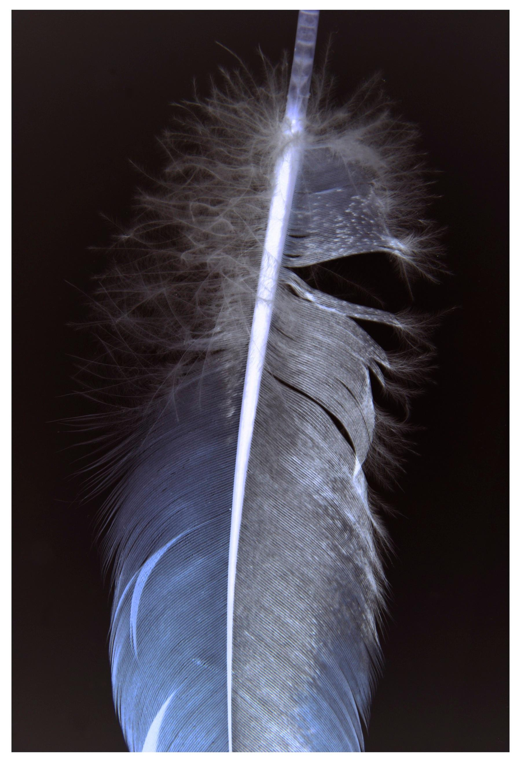 Feathers Three, Vertical Still Life Photograph of White Feather on Black