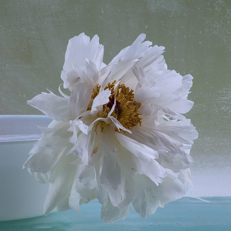 Roger Ricco Still-Life Photograph - Peonies Eight, Still Life Photo of White Flower on Pale Sage Green Background