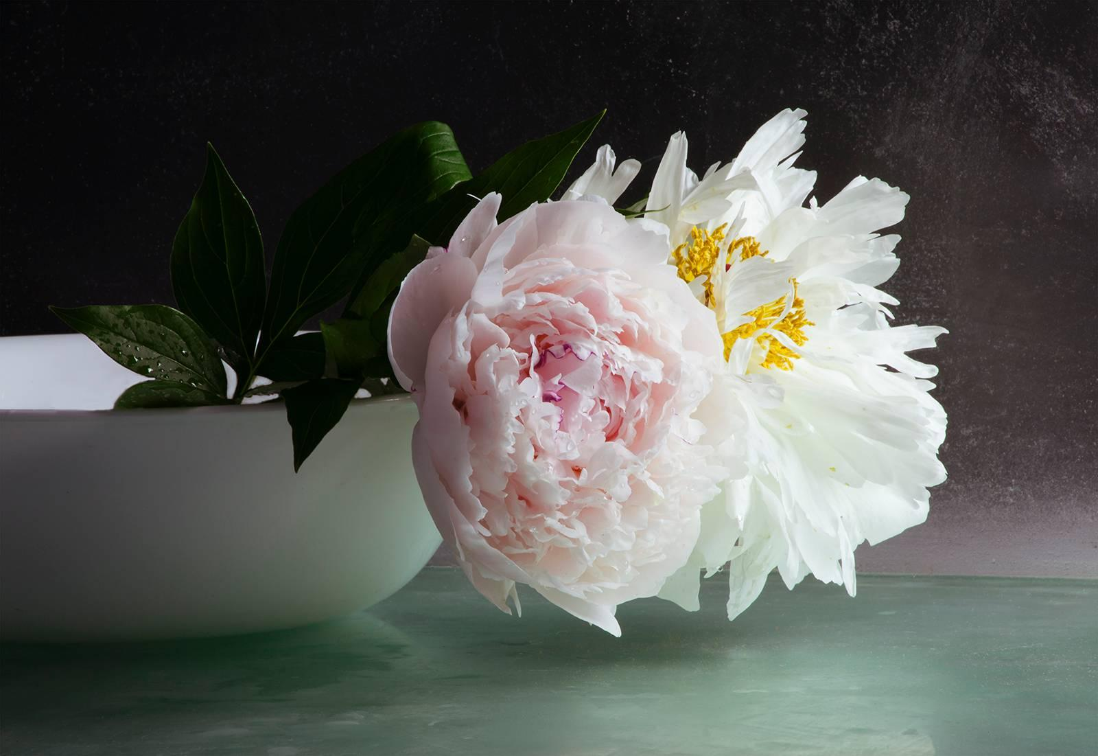 Peonies Seven, White and Pink Peony Flower Photograph White Blow Dark Background