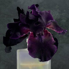 Purple Iris Two, Square Still Life Photograph of Dark Purple Flower on Gray
