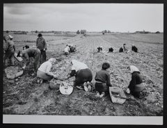Potato harvest, postwar 1950s.