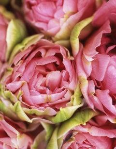 Tulipa Christo