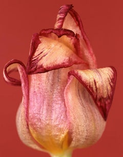 Tulipa Royal Dream