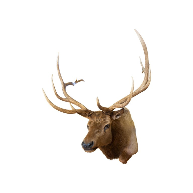 Roosevelt Elk Taxidermy Mount In Good Condition For Sale In Coeur d'Alene, ID