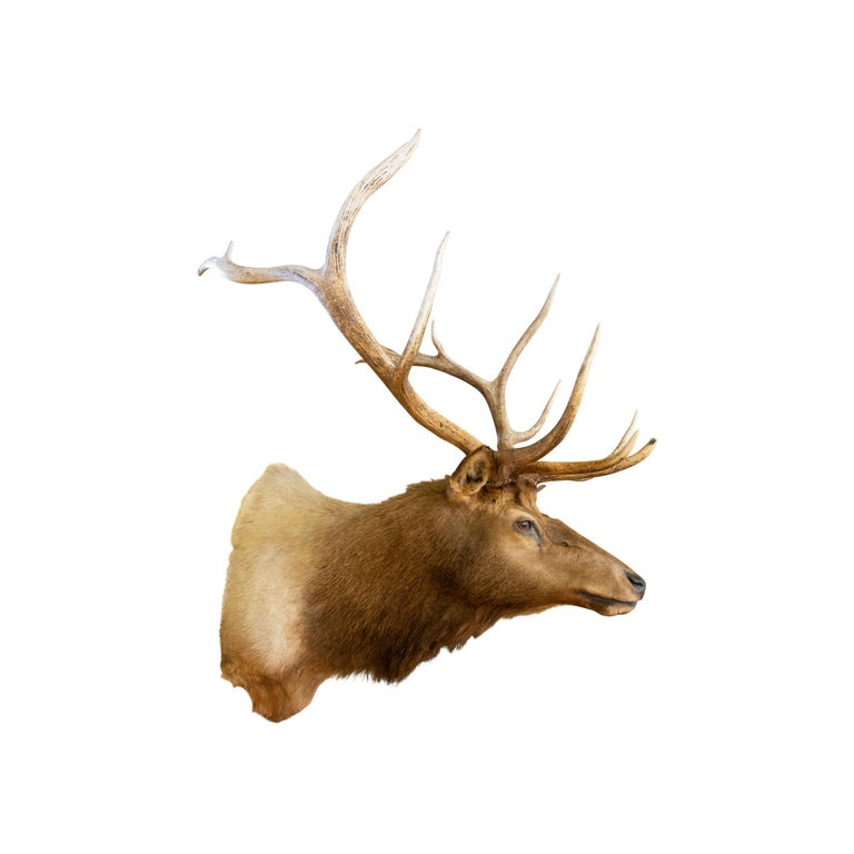 Contemporary Roosevelt Elk Taxidermy Mount For Sale