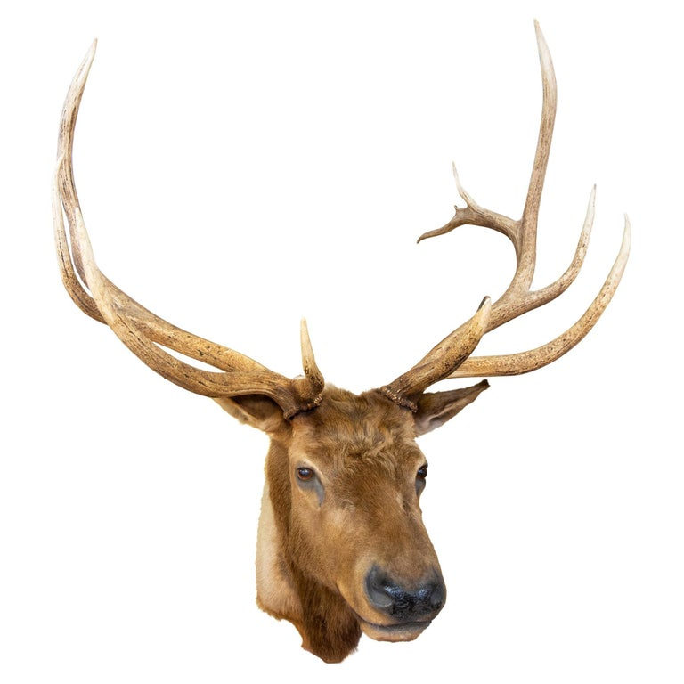 Roosevelt Elk Taxidermy Mount For Sale