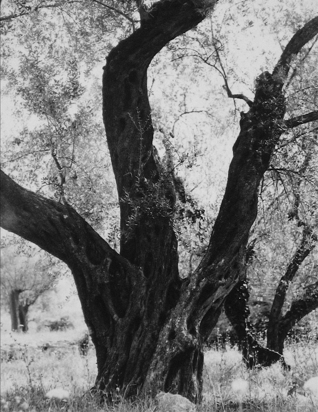 Tree in Rome 1960s Black and White Photograph