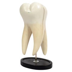 Rubber Resin Educational Model of a Tooth Made in the UK in the 50s