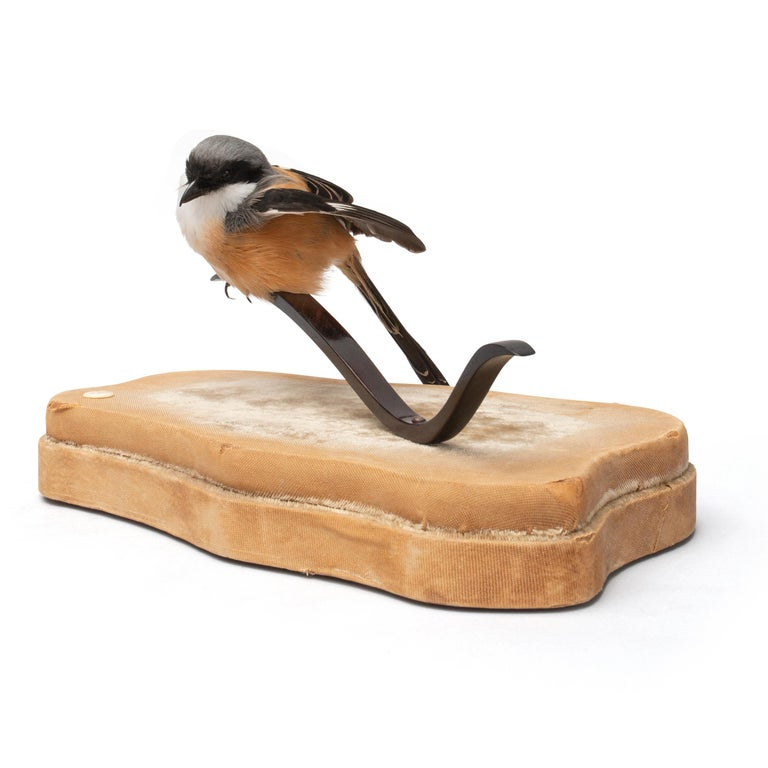'Stills from a Courtship Dance' is a series of fine taxidermy works with smaller exotic (rare) birds. Sinke and van Tongeren created this graceful serie as if they suddenly seemed frozen during the lascivious work put into their mating dance.