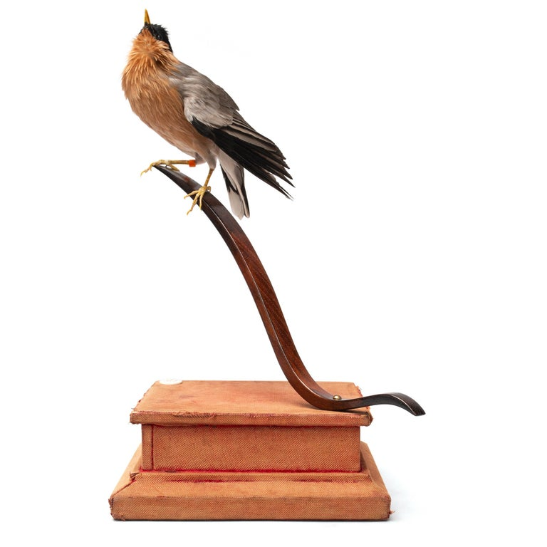 Contemporary Rufous-Vented Laughinthrush Fine Taxidermy by DS&vT For Sale