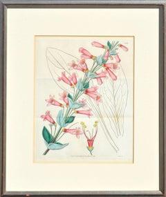Antique Pentstemon Murrayanus Hand-colored Botanical