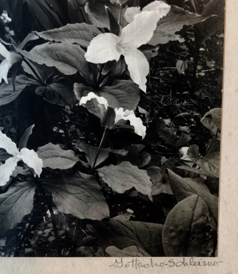 Vintage hand signed and stamp signed with the photographers stamp and numbered photo of trilliums. Samuel Herman Gottscho (February 8, 1875 - January 28, 1971) was an American architectural, landscape, and nature photographer. Samuel Gottscho was