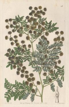 Acacia Spectabilis, 19th century Australian native botanical engraving