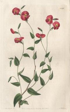Chorozema Ovatum, 19th century Australian native botanical engraving