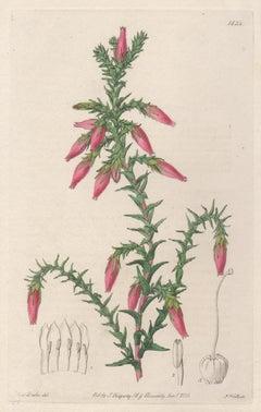 Cosmelia rubra, 19th century Australian native botanical engraving