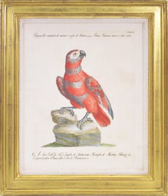 Manetti, Two Grey and Red Parrots, hand coloured engravings, 1776