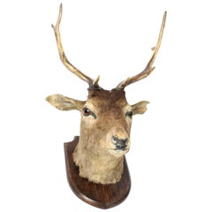 Scottish Mounted Taxidermy Stag, Mid-20th Century