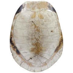 Scrimshaw Blonde Turtle Shell Carapace, 19th century Taxidermy