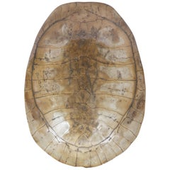Scrimshaw Blonde Turtle Shell Carapace, Early 20th Century Taxidermy