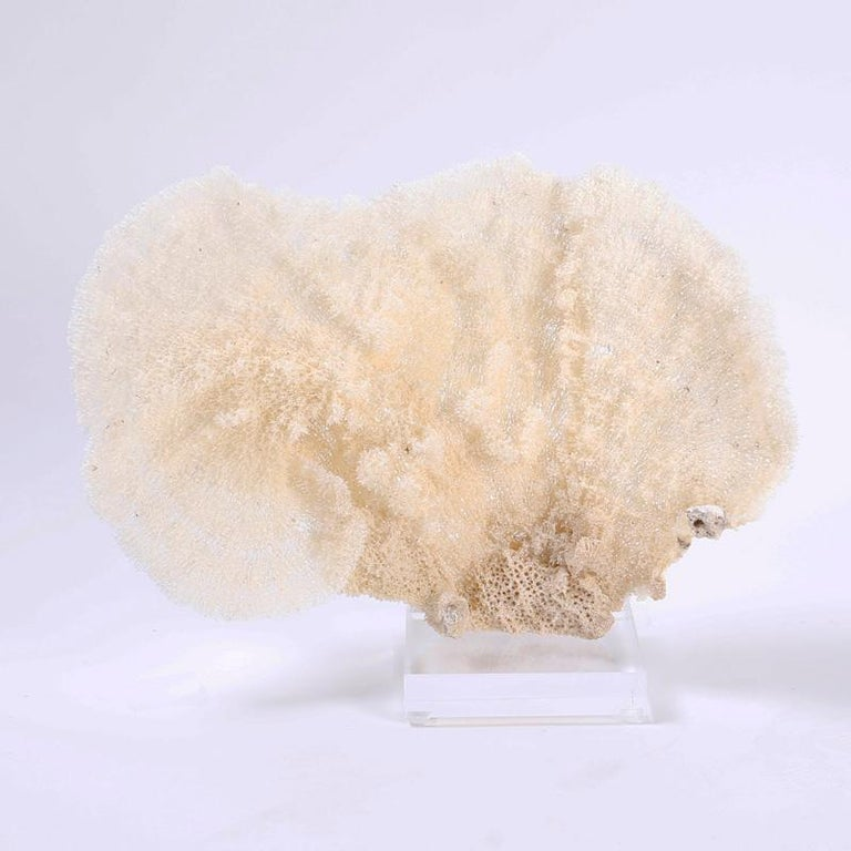 Here we have a sea sponge specimen with sea inspired organic textures and subtle soothing color variations. Presented on a custom Lucite stand to enhance the sculptural elements.