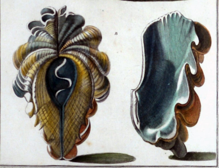 Seashell Engravings by Niccolo Gualtieri, 1742 'Pair' For Sale 3