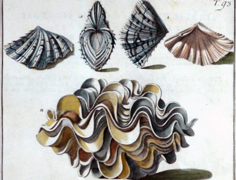 Seashell Engravings by Niccolo Gualtieri, 1742 'Pair' For Sale 5