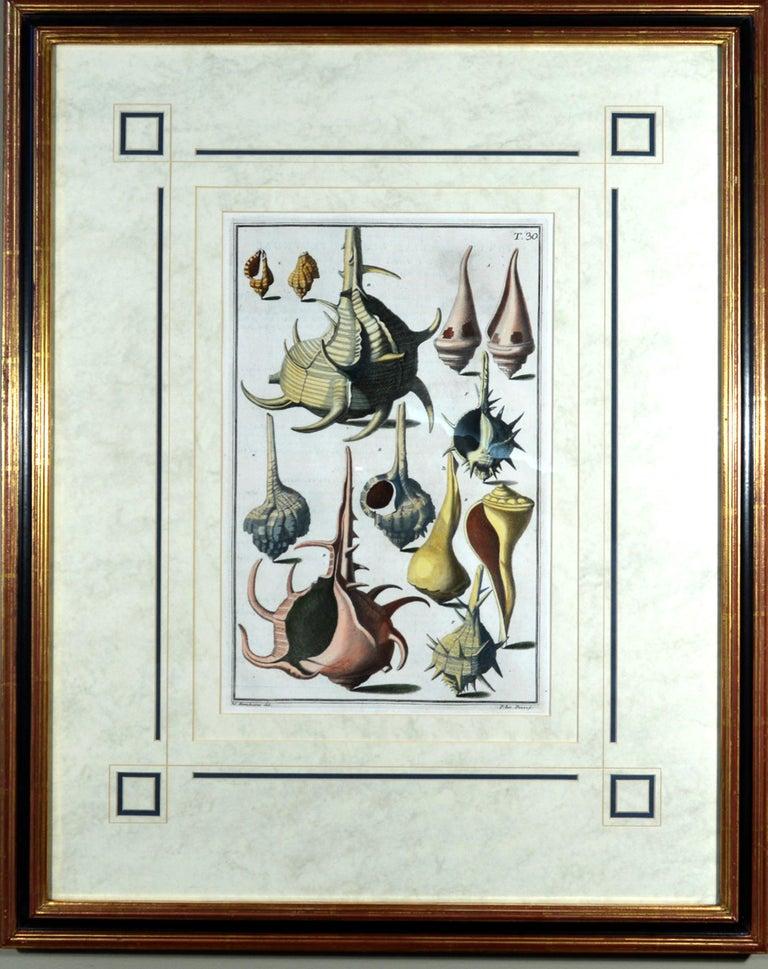 Italian Seashell Engravings by Niccolo Gualtieri, 1742 'Pair' For Sale