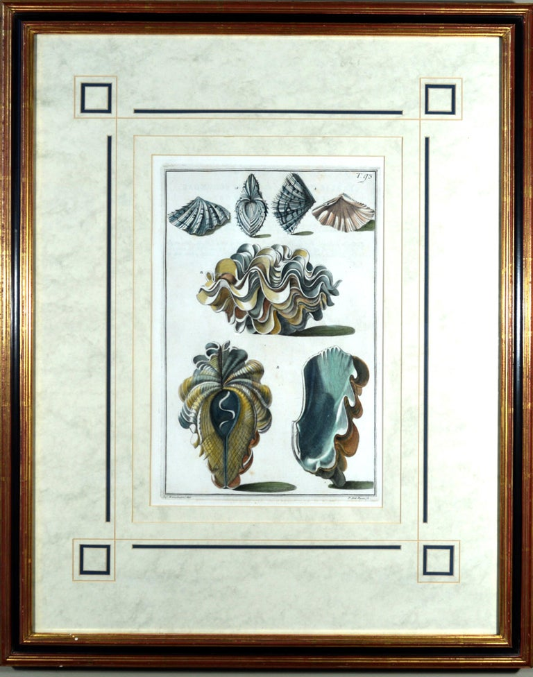 Seashell Engravings by Niccolo Gualtieri, 1742 'Pair' In Good Condition For Sale In Downingtown, PA