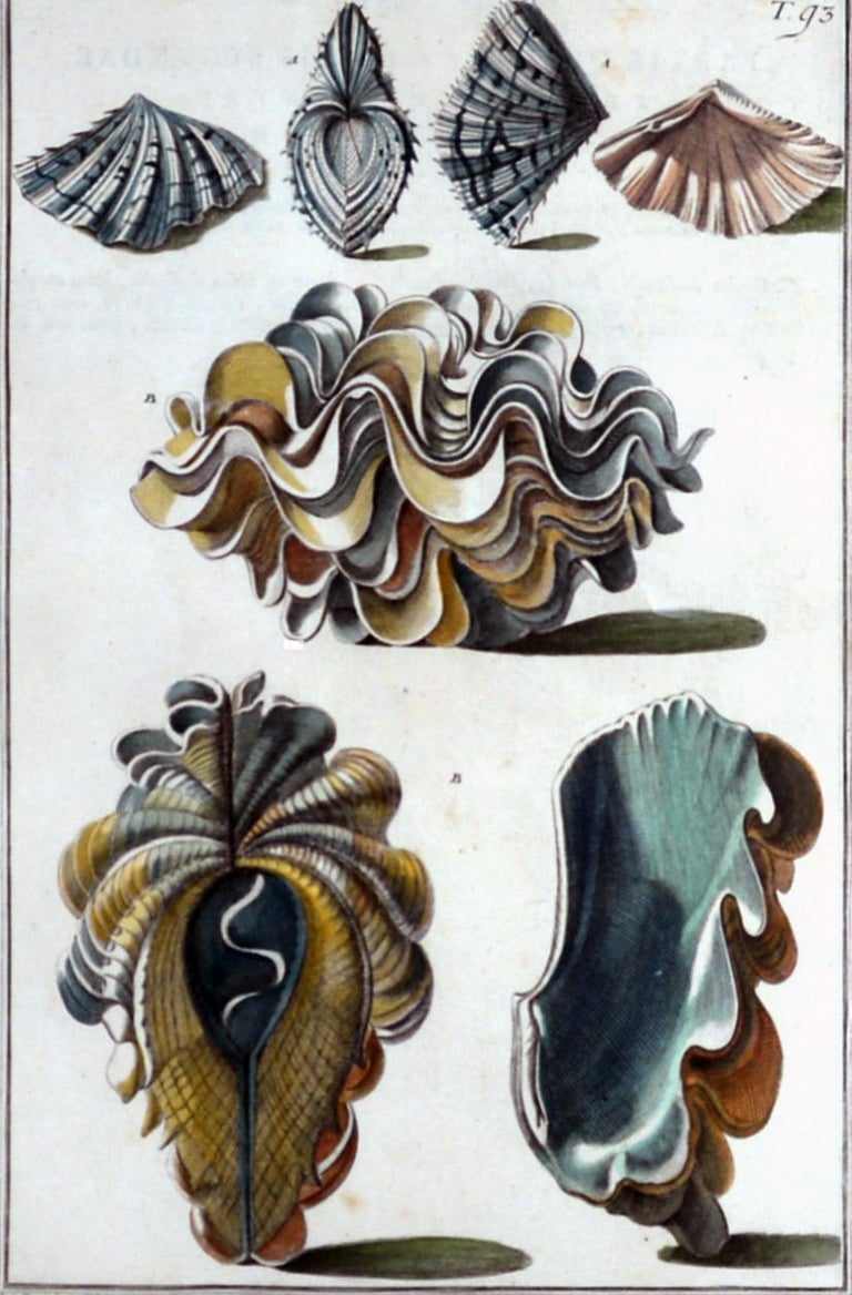 18th Century Seashell Engravings by Niccolo Gualtieri, 1742 'Pair' For Sale
