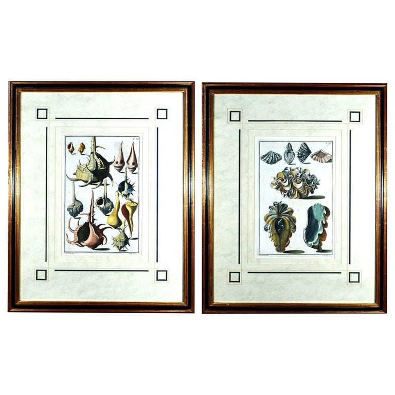 Seashell Engravings by Niccolo Gualtieri, 1742 'Pair' For Sale
