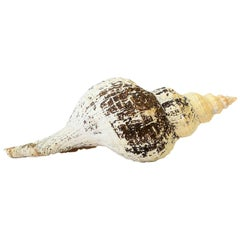 Large White and Brown Seashell